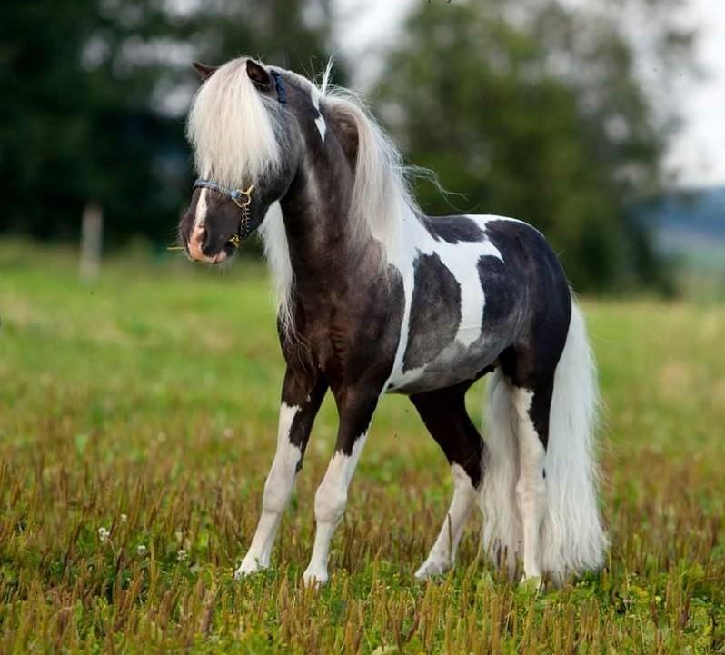Самых маленьких лошадок в мире впервые покажут в Твери