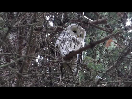 В московском районе Твери появилась сова
