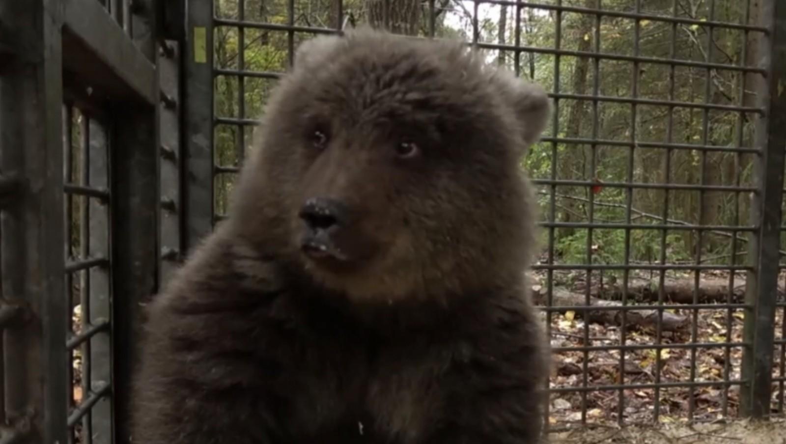 Спасенный из страшного плена медвежонок обретет новую жизнь в Тверской области