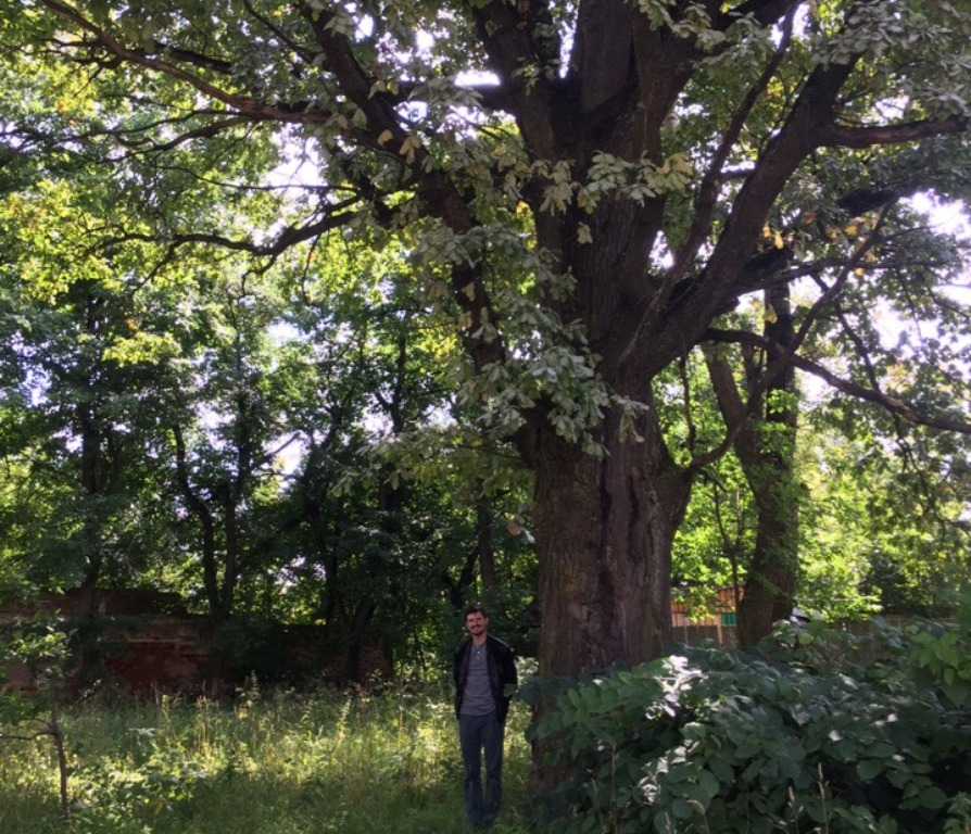 200-летний дуб в Торжке стал памятником природы