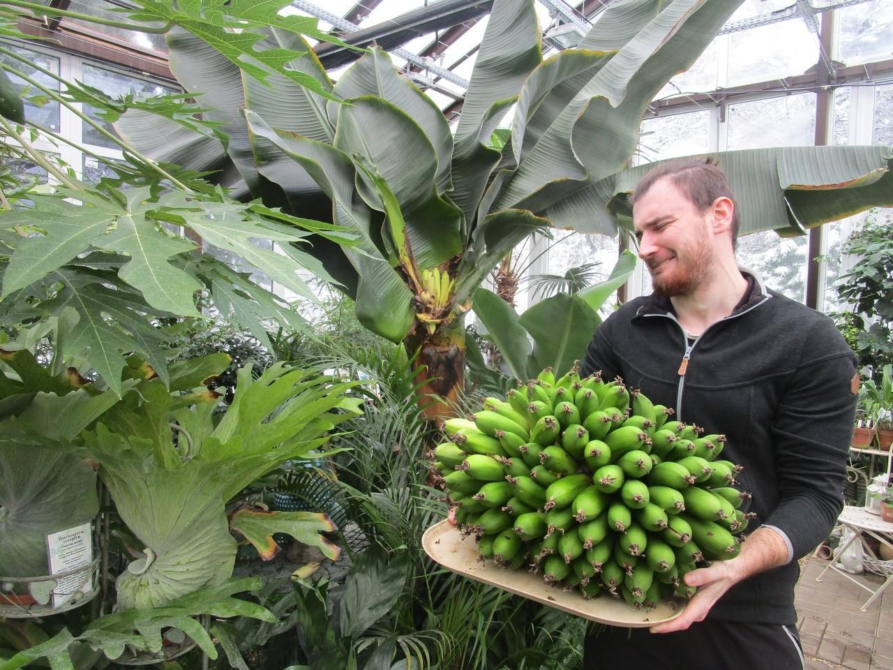 В Твери снова выросли бананы
