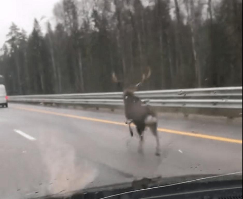 По трассе М-11 в Тверской области бежит встревоженный олень