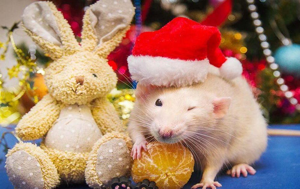 Что делать, если на Новый год подарили крысу