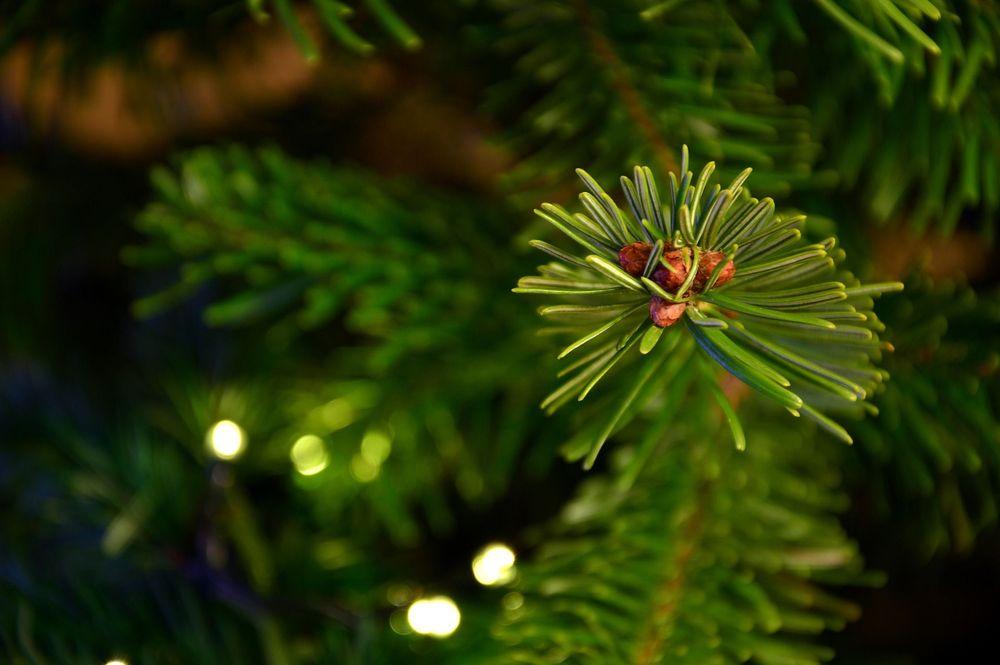 Жителям Тверской области рассказали выборе рождественских деревьев
