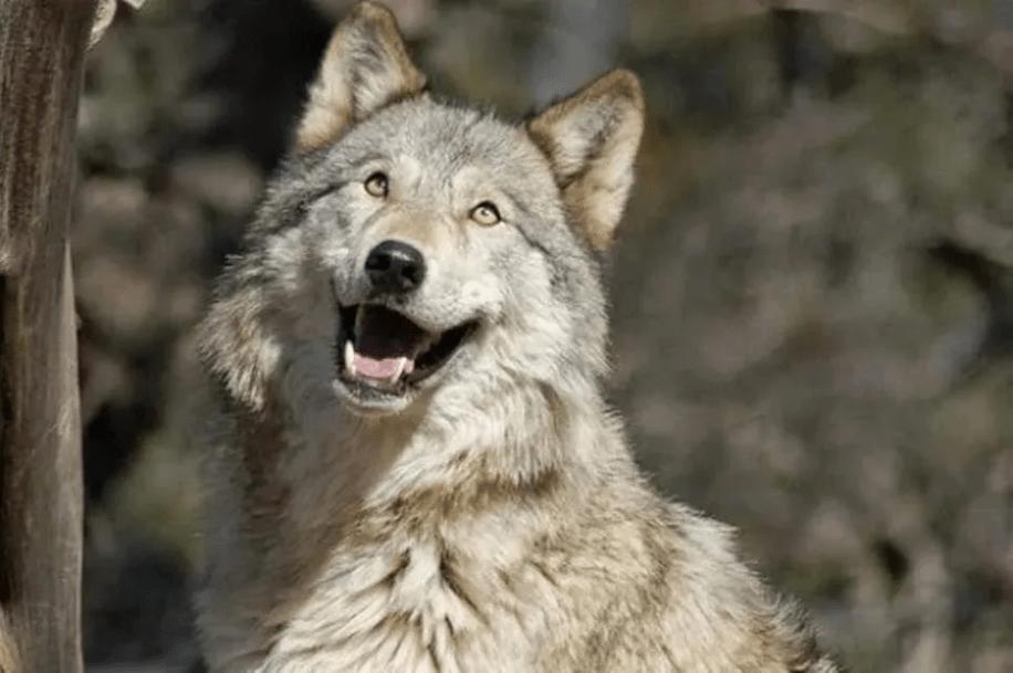 В деревне Тверской области волк подошел к жилым домам