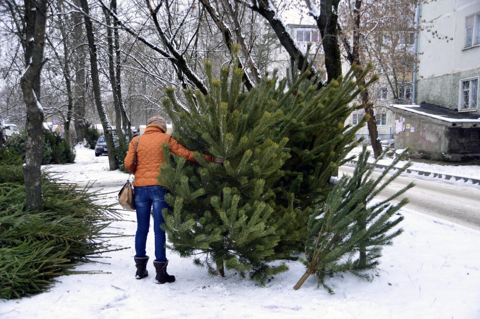 Где можно будет купить новогоднюю елку в Твери