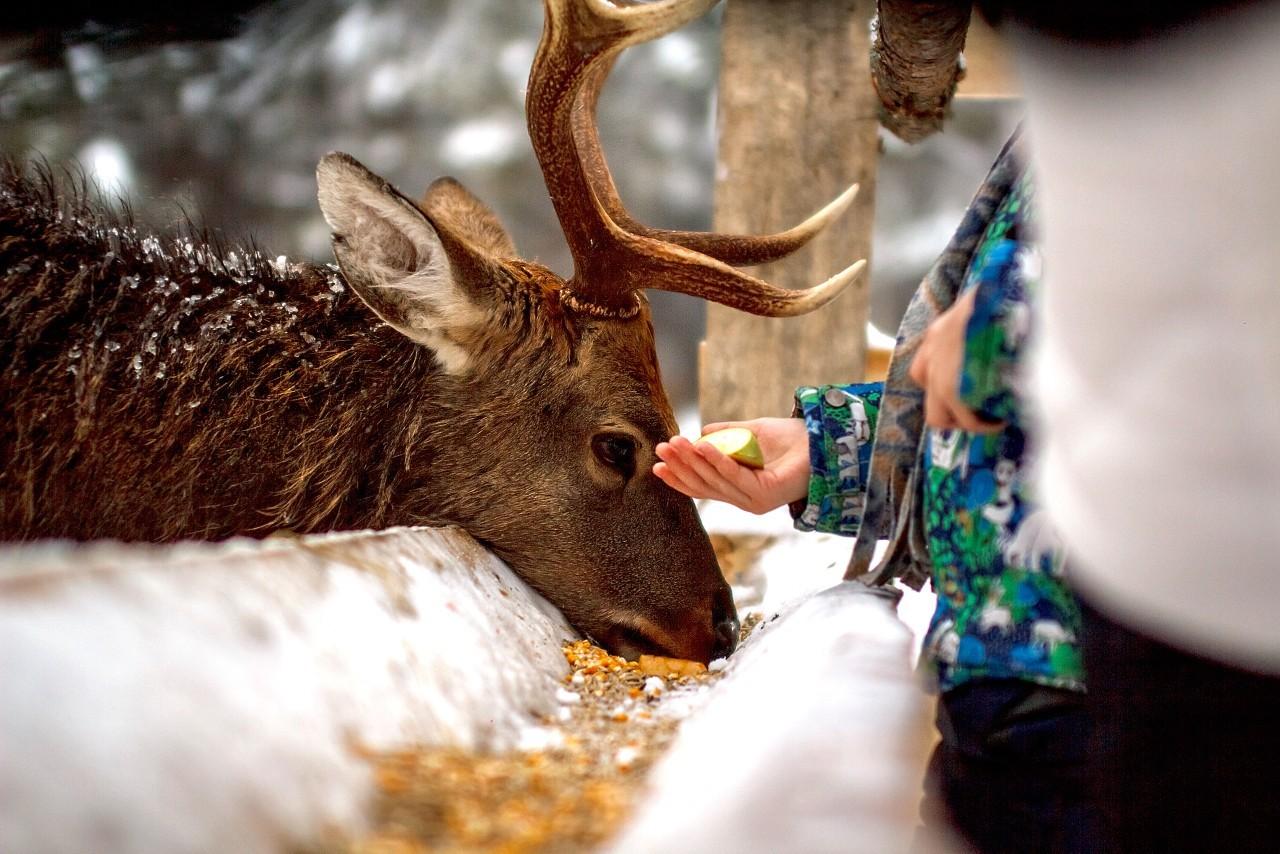 Жителей Твери приглашают побывать на оленьей ферме в новогодние праздники