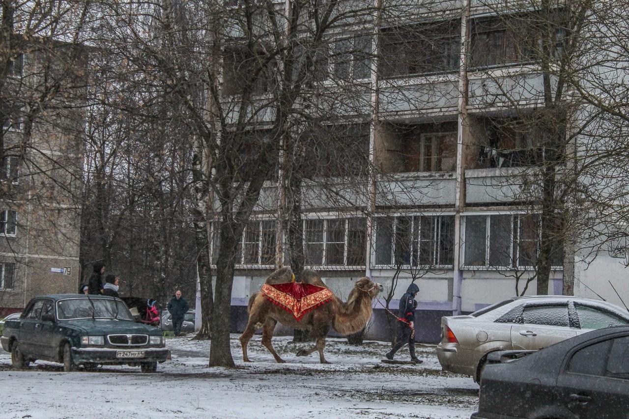 По заснеженным улицам Твери гулял верблюд