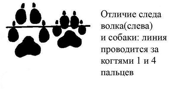 Следы, испугавшие жителей Тверской области, оказались следами кошки и собаки