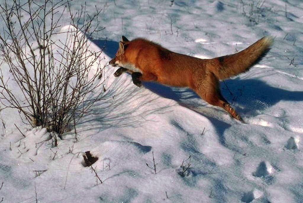 В Твери лиса устроила погоню за зайцем ВИДЕО