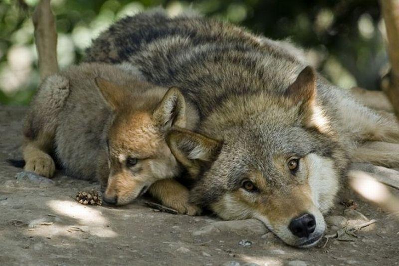 В Тверской области волк с детенышем вышли к жилым домам