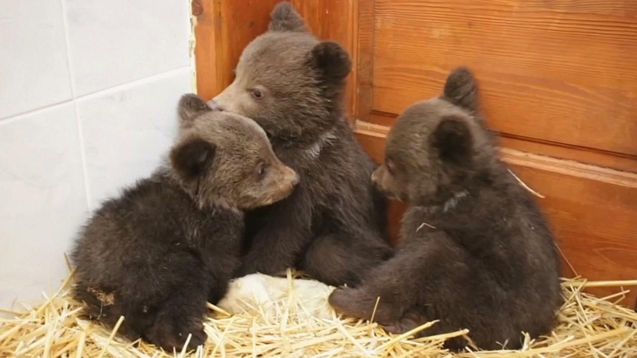 В Тверскую область привезут трех медвежат из Карелии