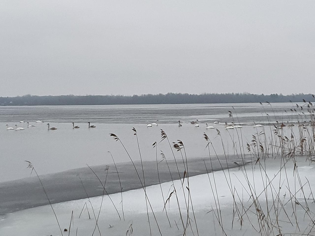 Большая стая лебедей прилетела на озеро Соломено Тверской области
