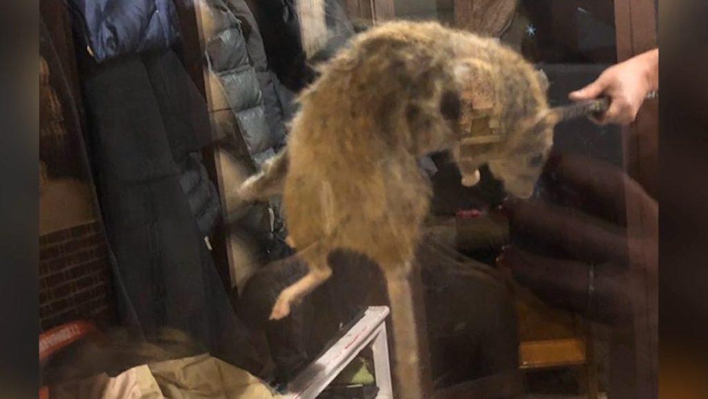 В Твери поймали огромную крысу, которая воровала конфеты из кухни ВИДЕО