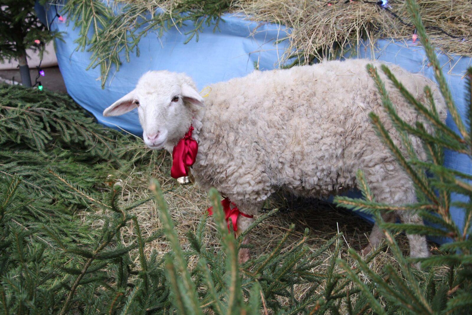 Белая овечка сбежала из тверского собора, чтобы погулять
