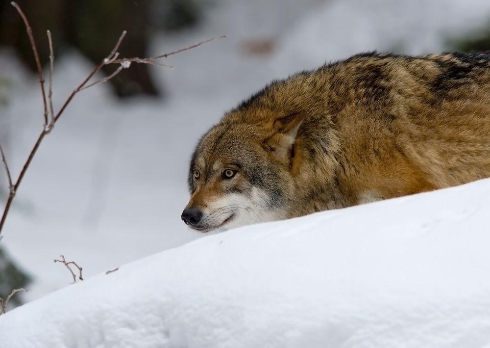 Во избежание встречи с волками, тверские специалисты советуют не красться по лесу