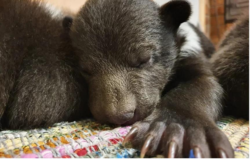 В Тверскую область привезли медвежонка-сироту Блэка