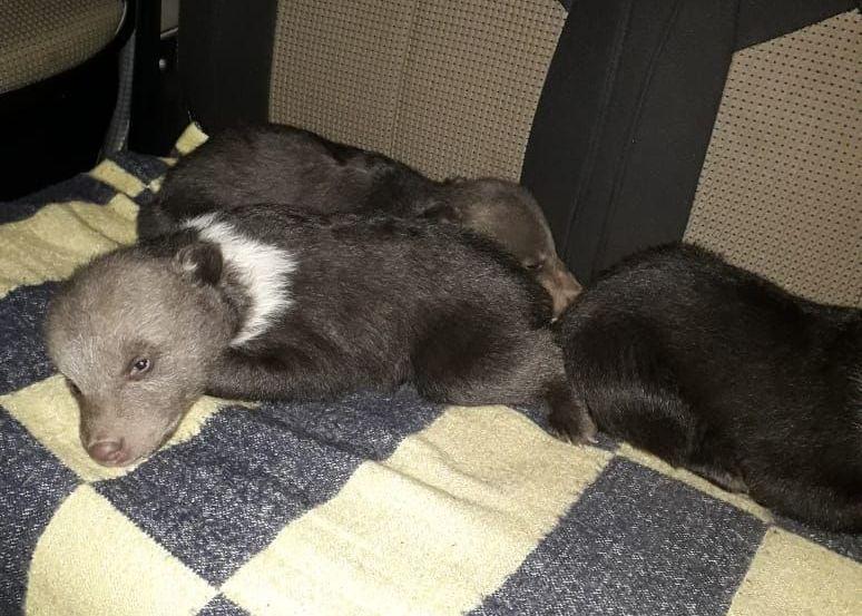 В Торопецком Центре спасения медвежат-сирот снова пополнение