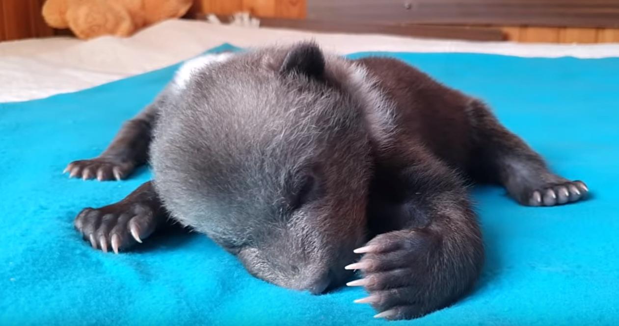Тверские биологи рассказали о самочувствии медвежонка-сироты Маши из Гатчины