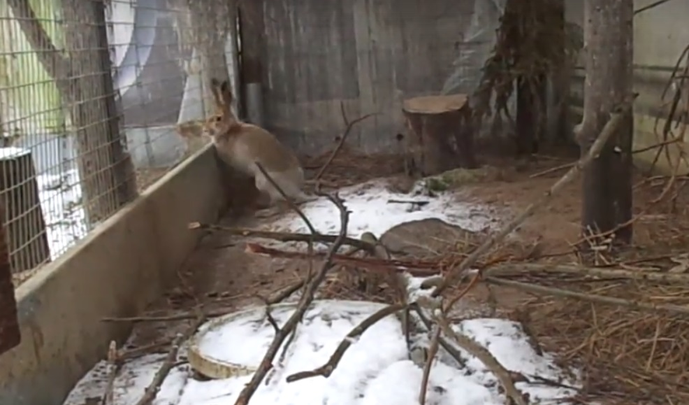 В Тверской области выпавший снег расстроил заячью свадьбу