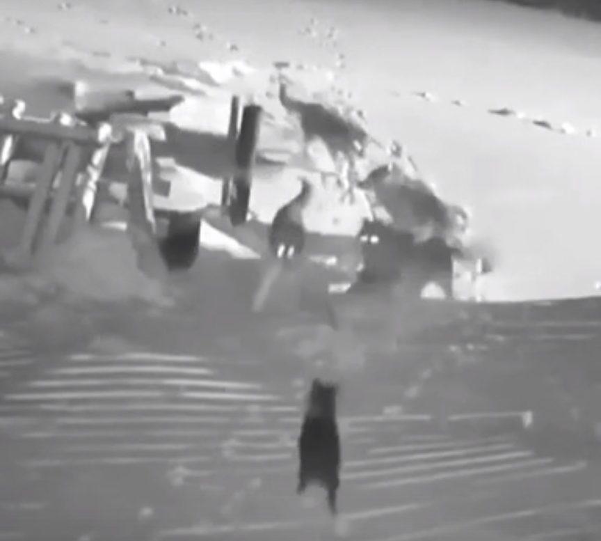 Нападение волков на собаку появилось на видео в Тверской области