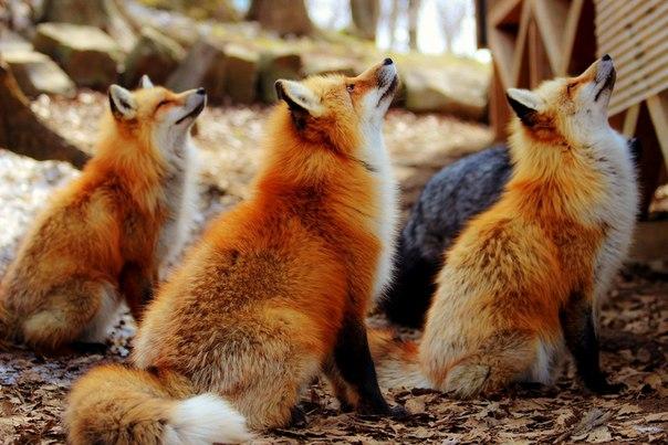 В Нелидово Тверской области сбежали на волю три лисы