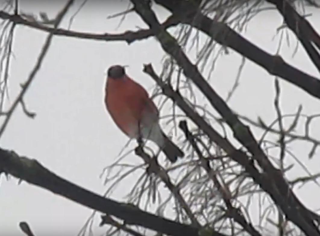 Жительница Твери поймала в объектив дерево со снегирями