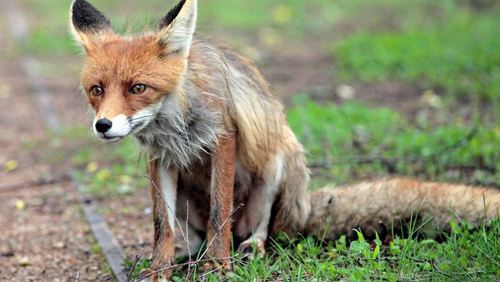 Рыжая угроза ликвидирована: страшная смерть бешеной лисы из Тверской области