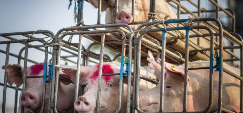 В Тверской области Россельхознадзор изменил правила перевоза животных