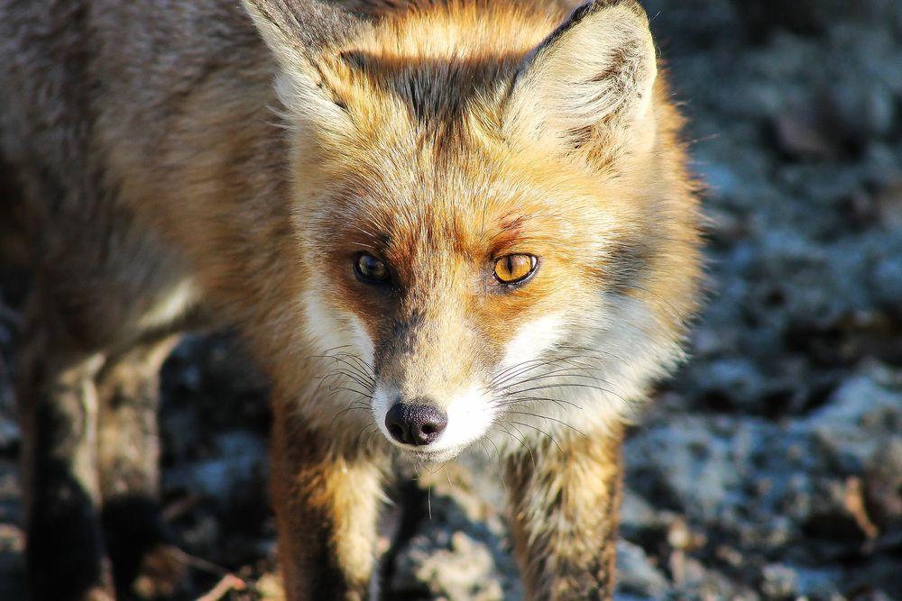 В Кашине обнаружена бешеная лиса