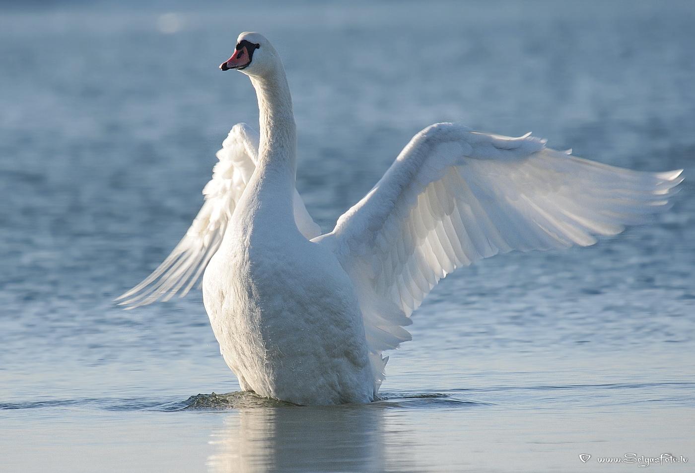 В Тверской области начали проверку информации о расстреле семьи лебедей
