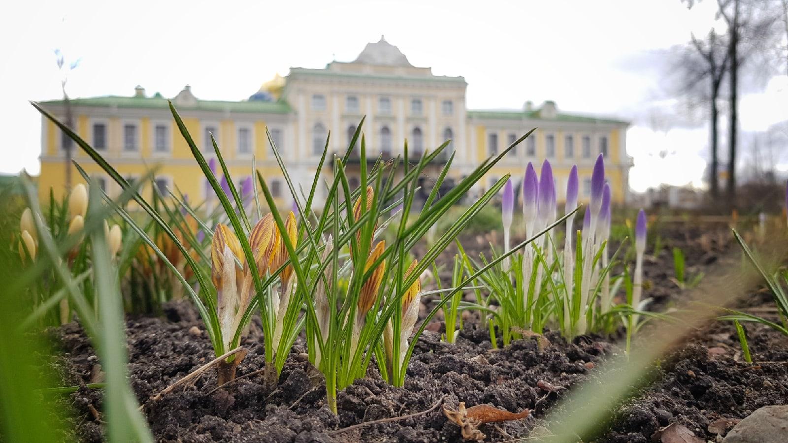 Дворцовый сад в Твери приглашает полюбоваться первоцветами
