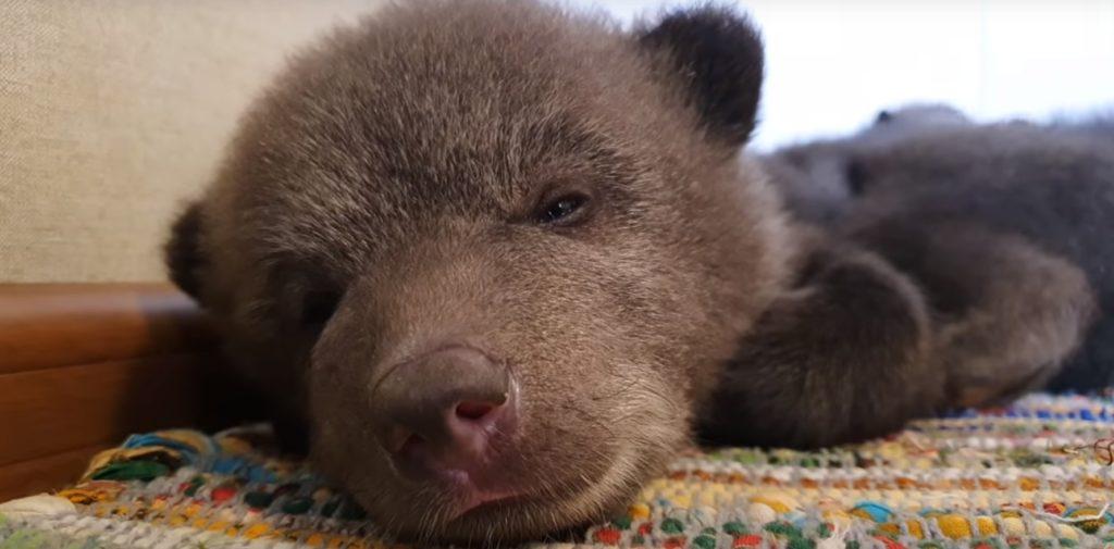 В Тверской области медвежат из центра спасения перевели в игровой домик