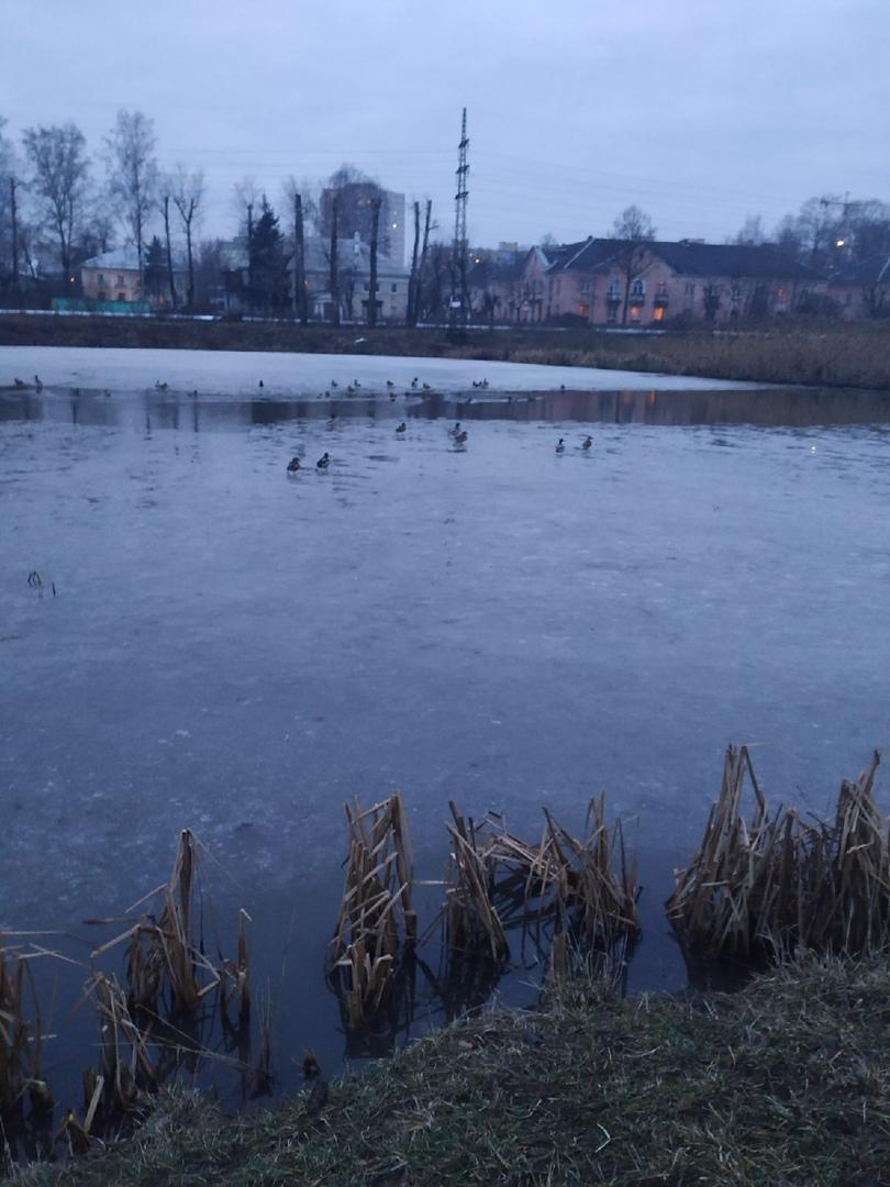 Суровые тверские утки начали сезон купания на реке Лазурь
