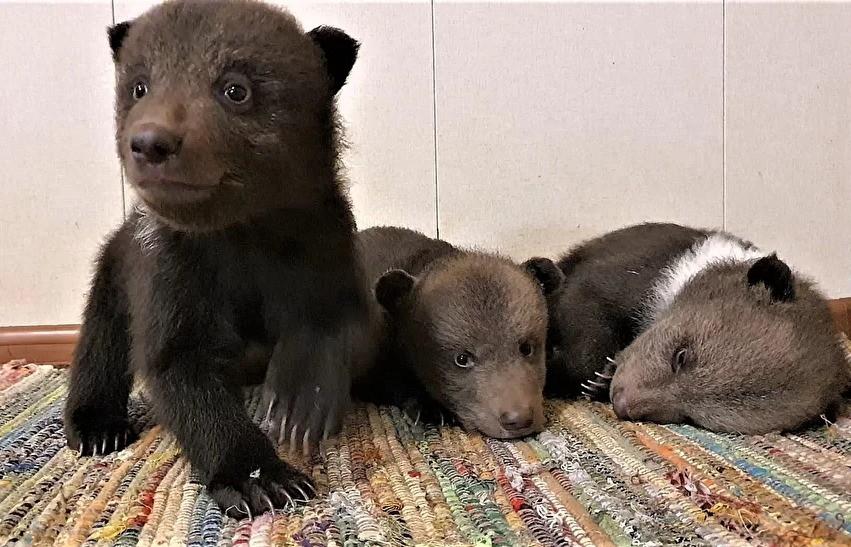 В Тверской области у медвежат в Центре спасения режутся зубки