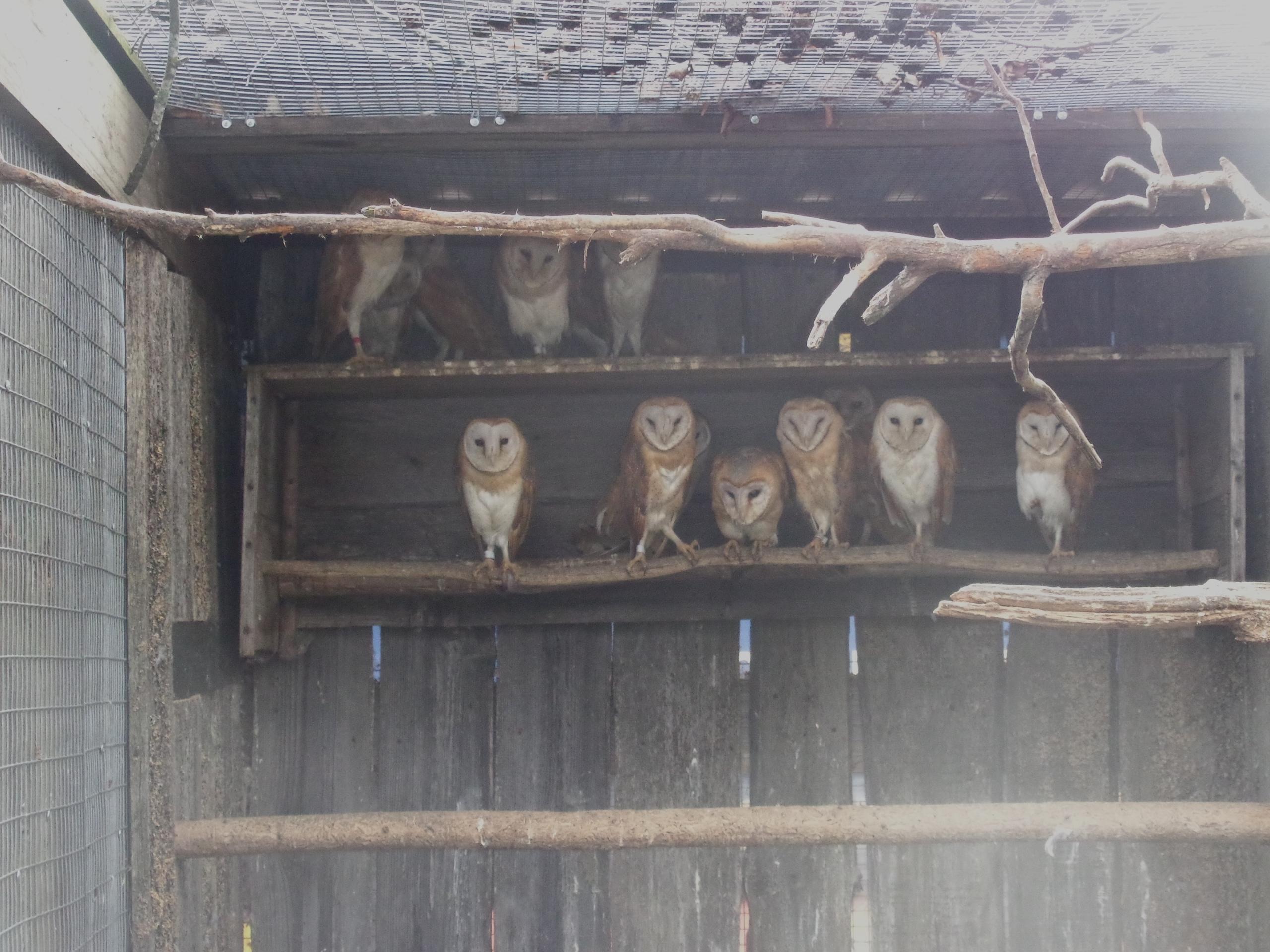 В Тверской области выпустят на волю сипух