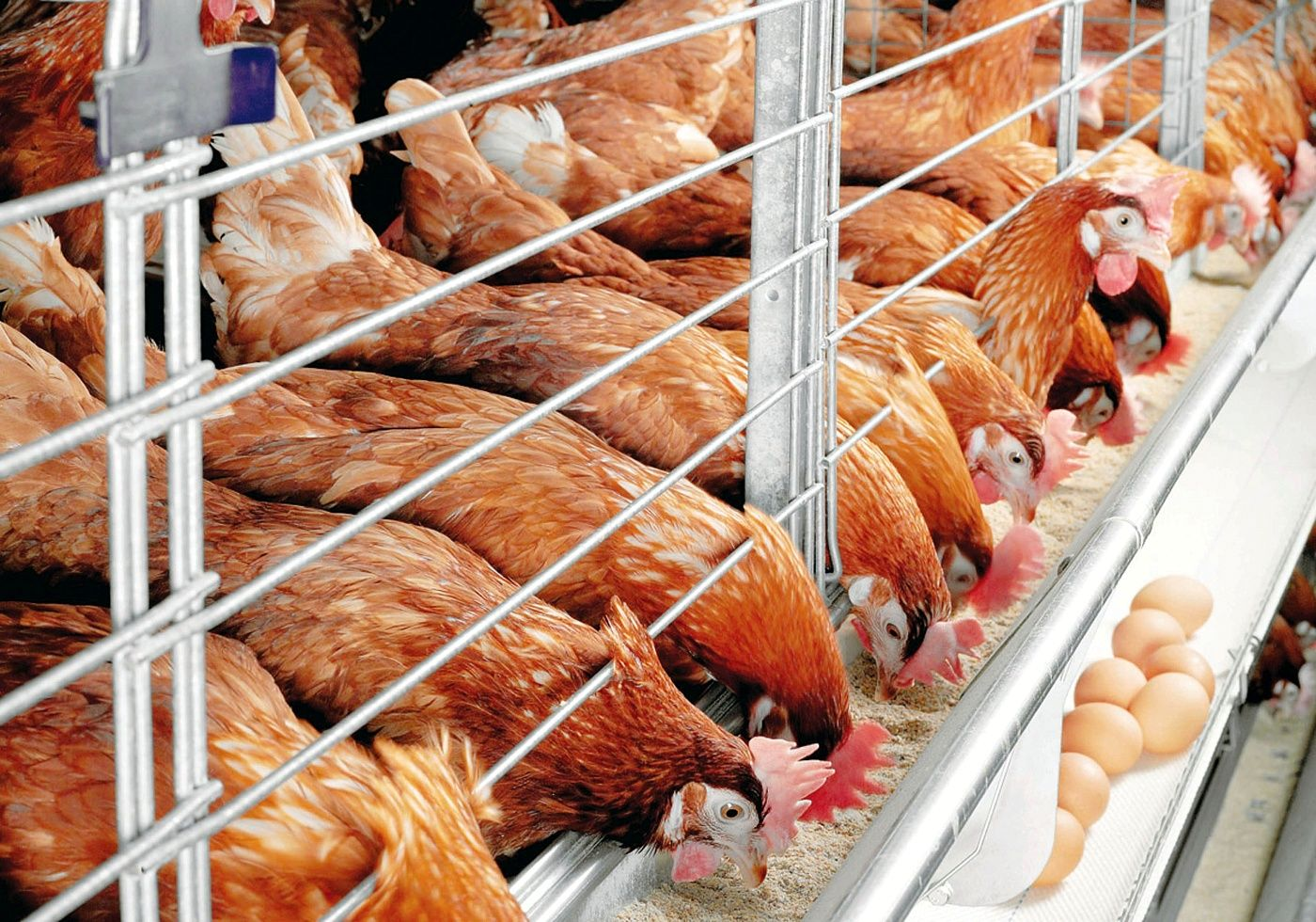 В Тверской области в мясе птицы нашли антибиотик