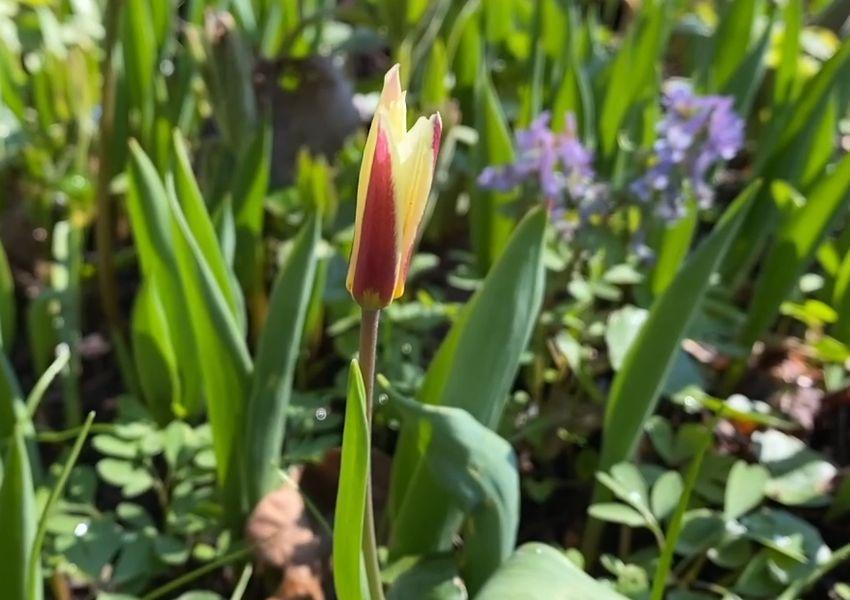 Ботанический сад ТвГУ продолжает цикл видеосюжетов «Весна в Саду Души»