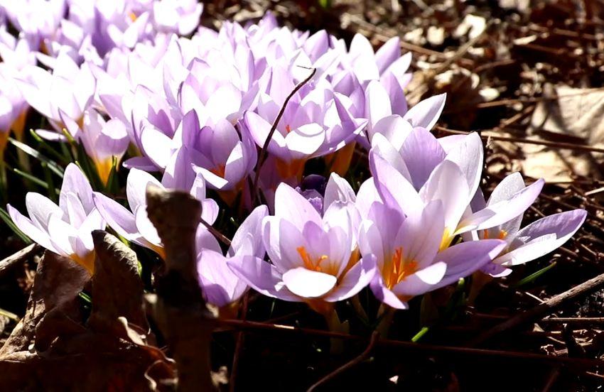 Ботанический сад приглашает жителей Твери на онлайн-экскурсию по первоцветам