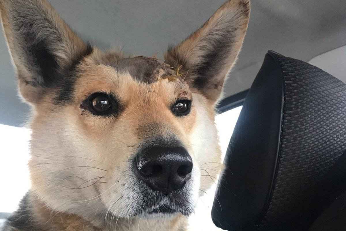 Раненного топором пса спасли волонтёры в Тверской области