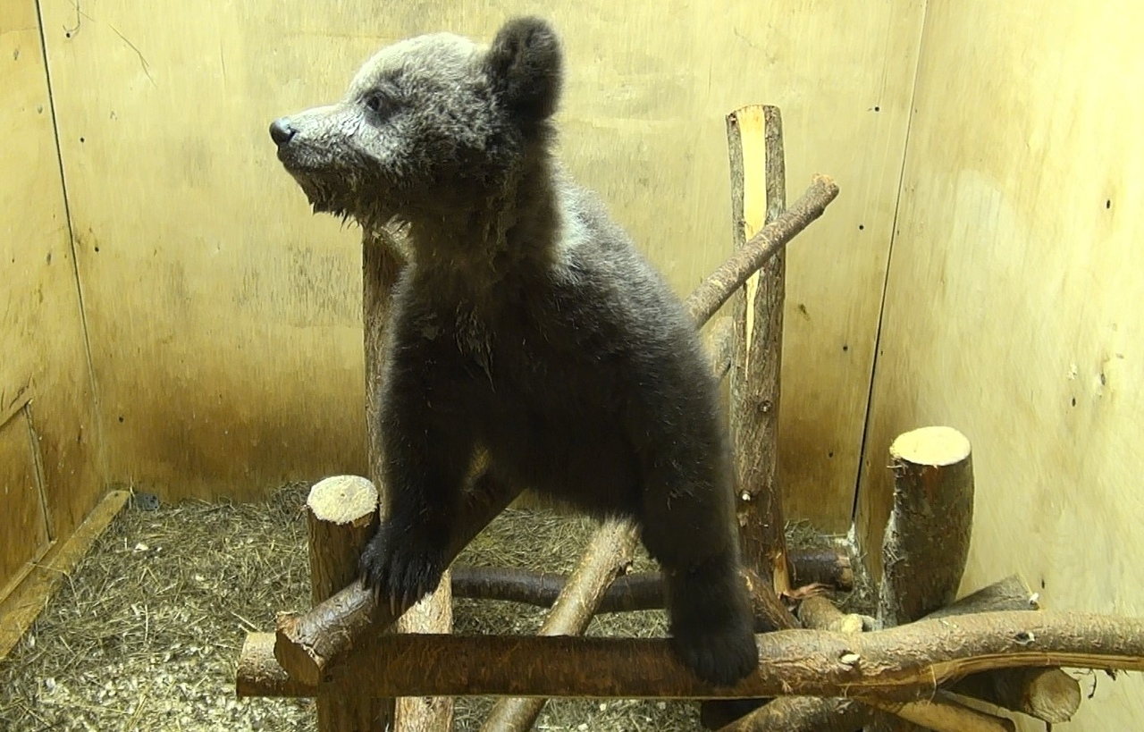 В Центр спасения медвежат-сирот в Тверской области привезли 17 подопечного