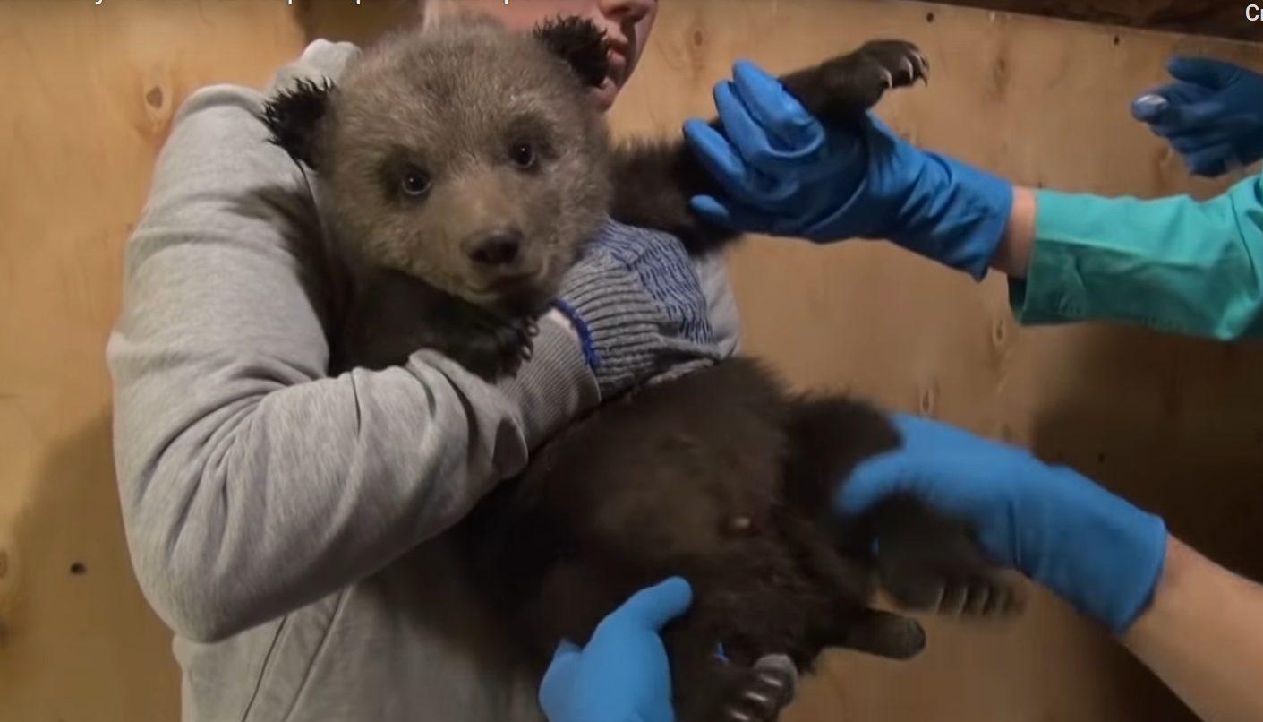 Медвежата из центра спасения прошли ветеринарный контроль в Тверской области