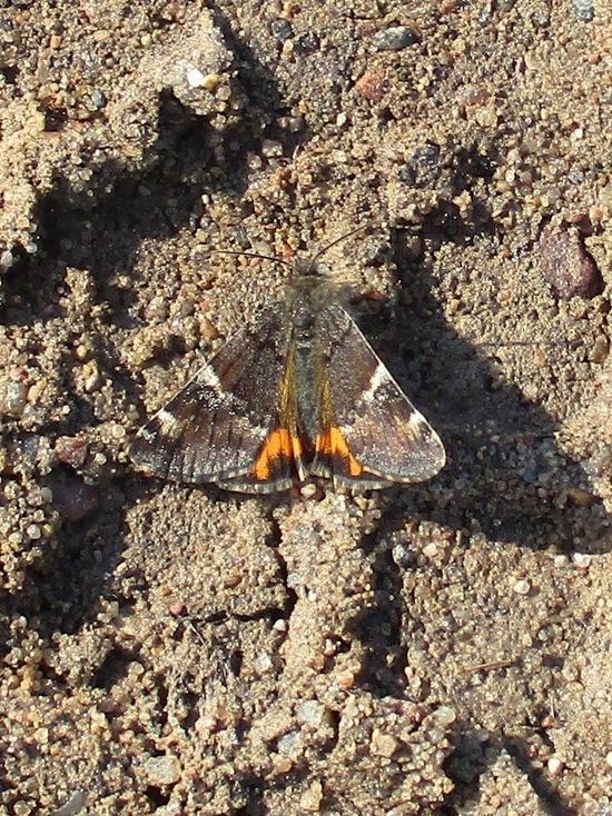 В Тверской области появились первые бабочки