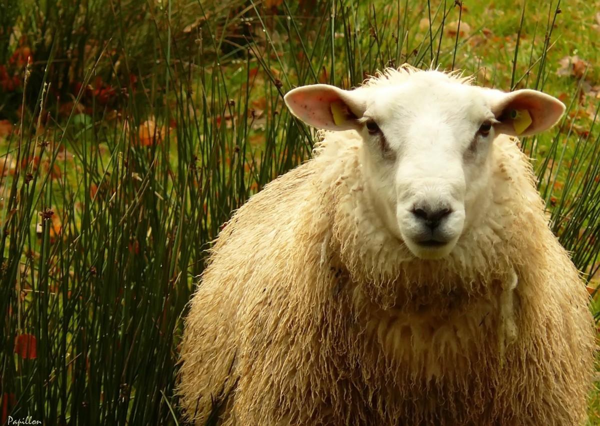 В Тверской области овцы паслись на кладбище