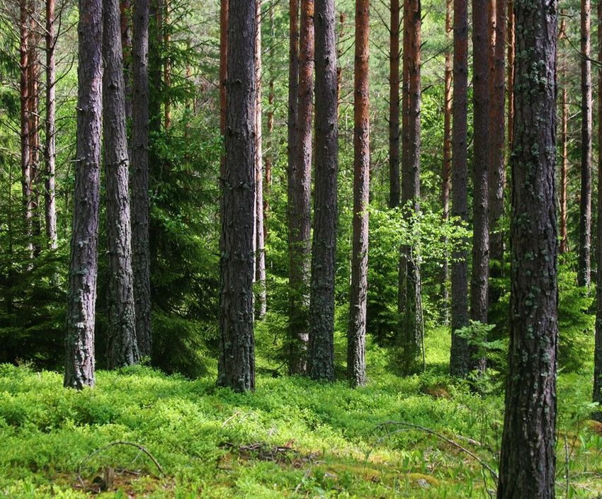 В Тверской области посадят больше деревьев