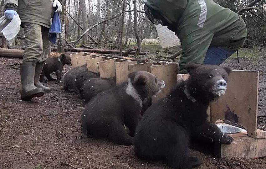 Семья тверских биологов показала, как кормит подросших медвежат-сирот
