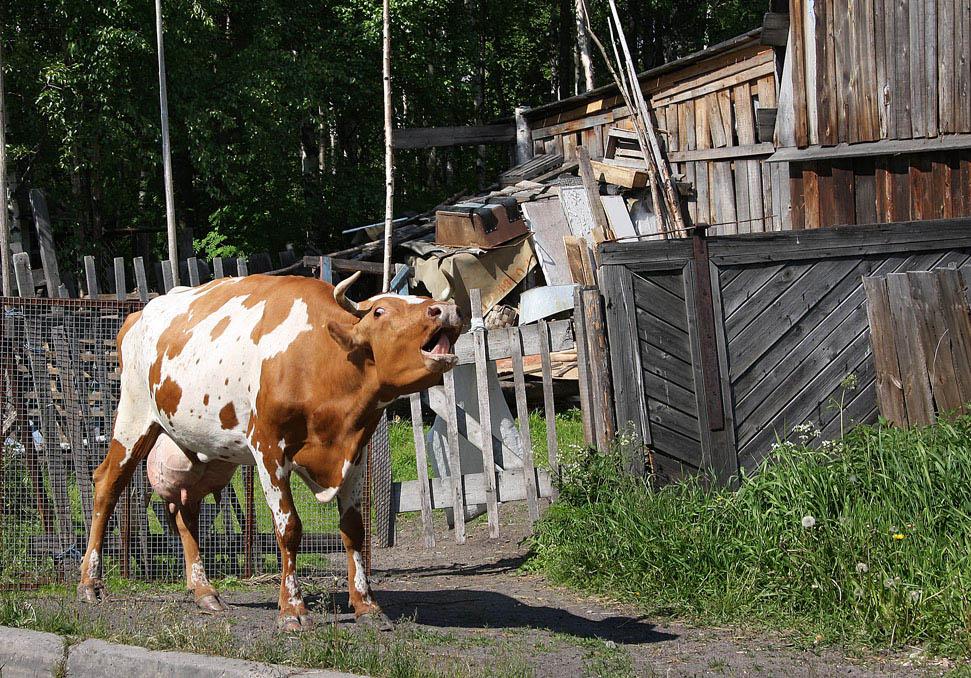 В Тверской области коварная корова забодала ветеринара