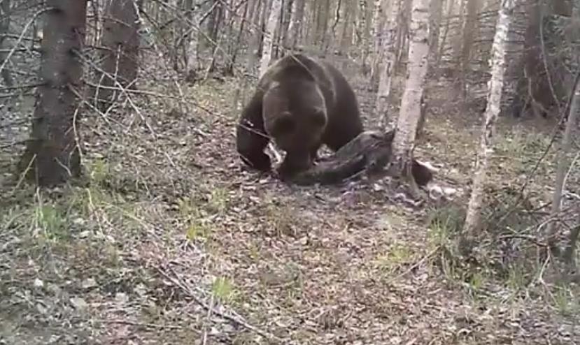 В Тверской области огромный медведь испугался камеры