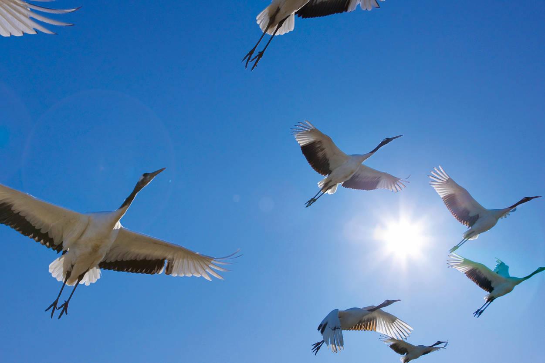 В Тверской области на видео попал полет журавлей
