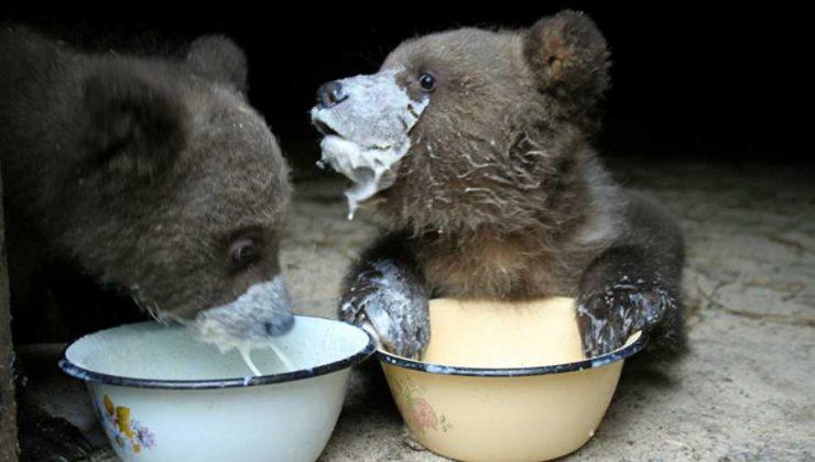 Тверские биологи показали, как медвежата кушают кашку